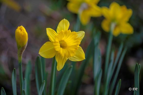 Daffodils are seen as symbols of hope and life. Photo by Bill Roberts.