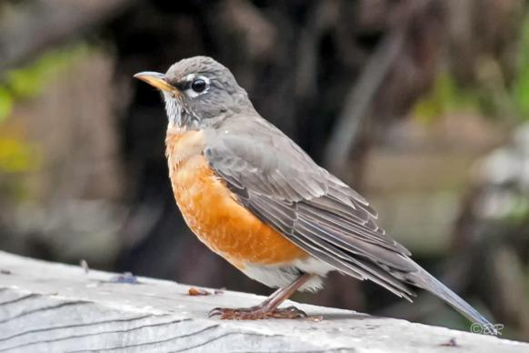 Photo of a robin by Bill Roberts