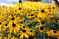 Black-eyed Susan flowers bloom near Lake Junaluska in North Carolina. File photo by Kay Panovec, United Methodist Communications.