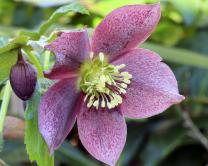 Lenten Rose photo by Lynn Whitt/Shutterstock.