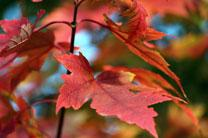 Autumn leaves. A United Methodist Communications photo by Kay Panovec.