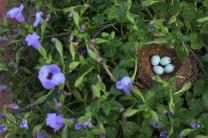 A nest with four blue speckled eggs are sheltered within a hanging basket. The flowers were a Mother's Day gift and became the home of a bird mother. Photo by Kathleen Barry, United Methodist Communications.