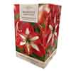 Amaryllis Christmas Star Gift Pack