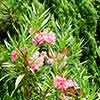 Set of 3 Pink Oleander Bushes in Metallic Planters