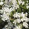 Pair of White Oleander Standards with Wheat Bundle Planters