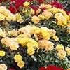 Complete Groundcover Roses Collection