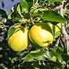 Apple 'Golden Delicious' Tree