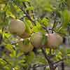 Apple Golden Delicious Tree