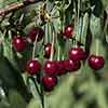 New! Cherry Bush Porthos