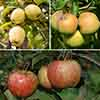 Trio Fruit Apple Tree