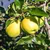 Apple Malus domestica Golden Delicious