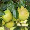 Pear Pyrus communis Beurre Alex. Lucas