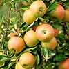 Apple Patio Jonagold
