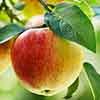 Apple Patio Summerred