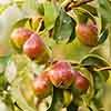 Patio Pear Williams Tree
