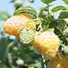 Raspberry Summer Lovers Garden Gold