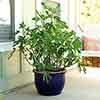 Ficus carica 'Little Miss Figgy' 9cm