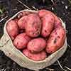 Grow Your Own Patio Potato Kit