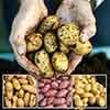 Patio Potato Kit