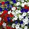 Petunia Surfinia Patriotic Collection