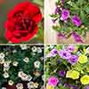 Rosebud Mini Double Petunia Collection
