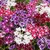 Phlox 'Popstars' Mix
