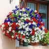 Patriotic Petunia Collection, 12 Jumbo Plugs in 3 Colours.