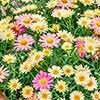 Marguerite Argyranthemum 'Lemon and Pink'