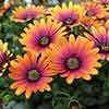 African Daisy Osteospermum  Purple Sun