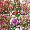 Fuchsia Fuchsita Collection