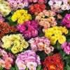 Primrose Primula Emotions Mix