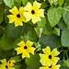Thunbergia Sunny Mixed