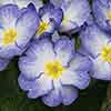 Primula Stella Porcelain Blue