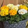 Polyanthus Crescendo Spring Fever Mixed