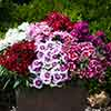 Dianthus Gem