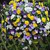 Pansy Coolwave 11in Yellow Hanging Basket