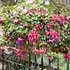 Pair Pre-planted Baskets (Pink) Jumbo Fuchsias Mixed