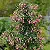 Flowering Fuchsia pyramid