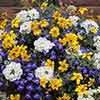 Sherbet Lemon Pre-Planted Baskets