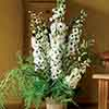 Perennial Delphinium Pacific Giants