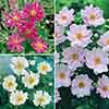Hardy Japanese Anemone Collection