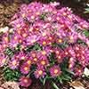 Dwarf Hardy Aster Island series Mixed