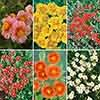 Rock Roses, Helianthemum Collection
