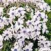 Moss Phlox subulata 'Pharaoh Blue Eye'