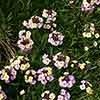 Erysimum Plant World Lemon Perennial Wallflower