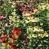 Echinacea purpurea 'Sunbuzzer' Mixed Coneflower