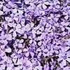 Carpet Phlox collection