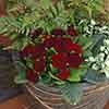 Double Primrose Primula Belarina 'Valentine Red'