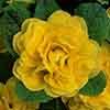 Double Primrose Primula Belarina 'Buttercup'