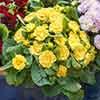 Primula Belarina Buttercup